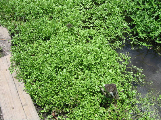 igawatercress132.jpg